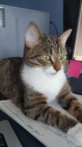 Ruskearaitainen kissa makaa valppaannäköisenä papereiden päällä. Takana on tietokonenäytön kulma.